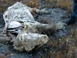 Musk Ox Carcass