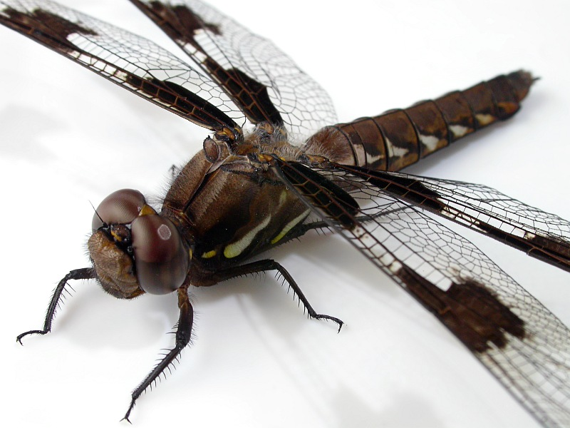 Dragon Fly Close.jpg