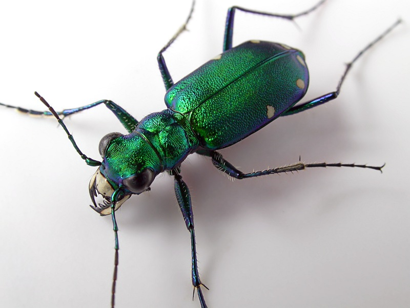 Irridescent Green Bug.jpg