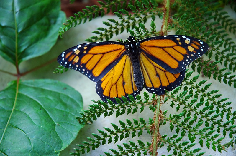 Monarch on Fern.jpg
