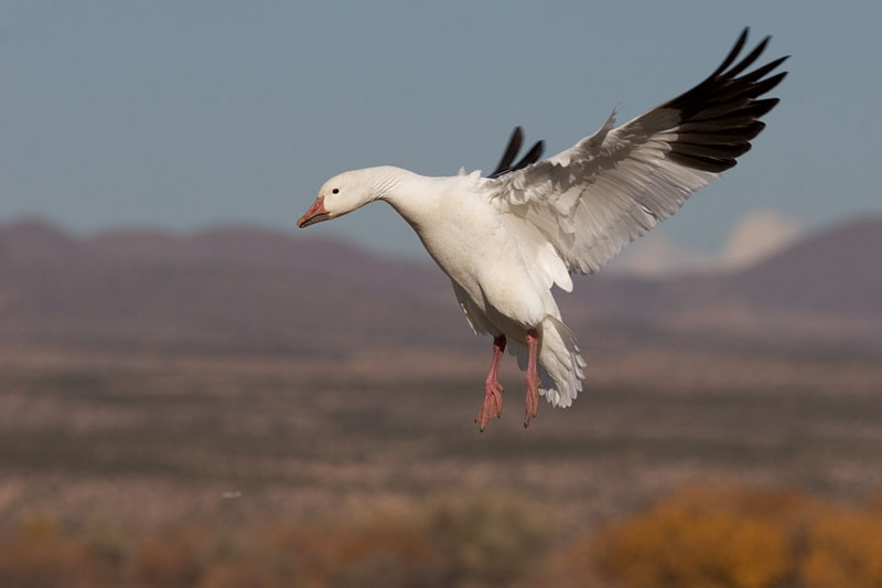 Snow Goose wings back