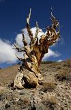 6995-Bristlecone-Pine.jpg