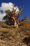 6998-Bristlecone-Pine-2.jpg