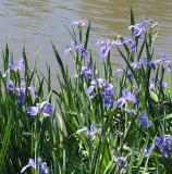 Louisiana native irises
