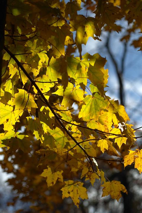 Backlit Maple.jpg