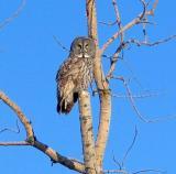 owl in sunlight