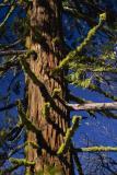 moss on sequoia