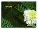 Fly on Acacia 2.jpg