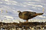 Hen Turkey