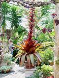 Alcantarea imperialis rubra in the front garden