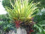 the native epiphyte Collospermum hastatum teamed with some bromeliads