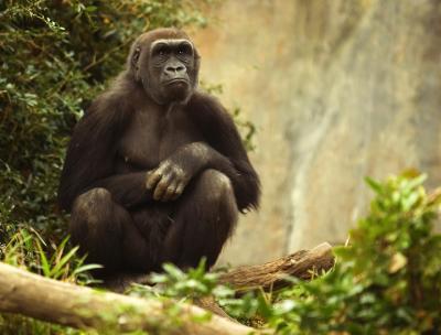 Lowland Gorilla, Woodland Park Zoo, Seattle, Washington