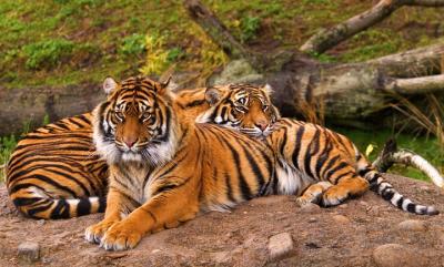 Sumatran Tigers, Pt. Defiance Zoo, Tacoma Washington