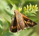 female Leonard's Skipper - Hesperia leonardus