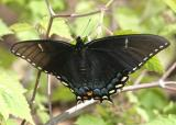 Eastern Tiger Swallowtail black morph - Papilio glaucus