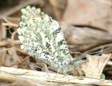 Falcate Orangetip - Anthocharis midea