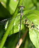 Emerald Spreadwing - Lestes dryas (male)
