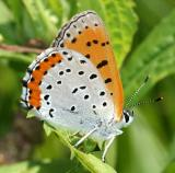 Bronze copper - Lycaena hyllus