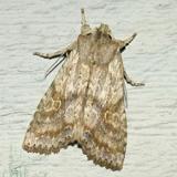 9887 -- Bethune's Pinion Moth -- Lithophane bethunei