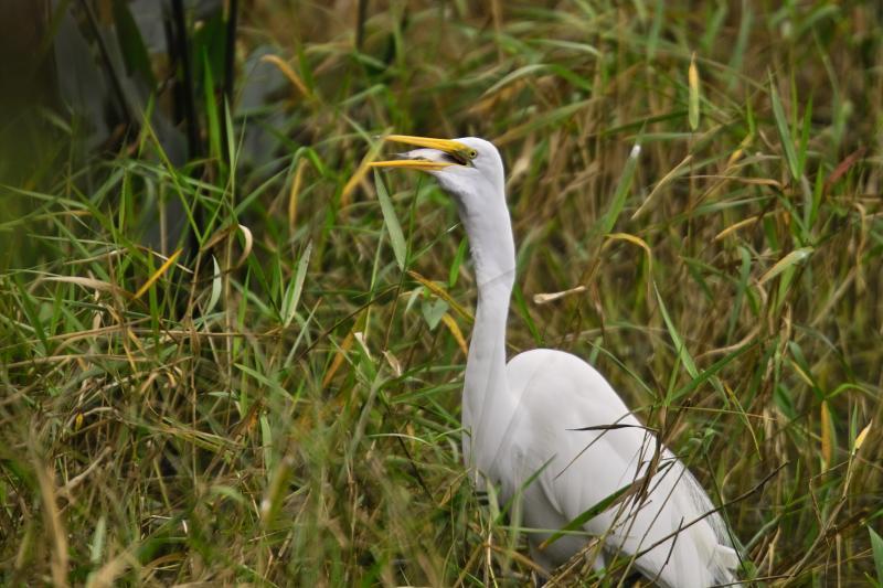 White Egret3