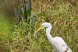 White Egret1