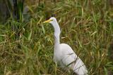 White Egret4
