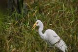 White Egret2
