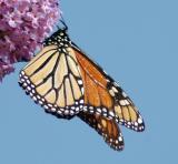 butterfly32