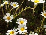 Margaça (Chamaemelum mixtum)