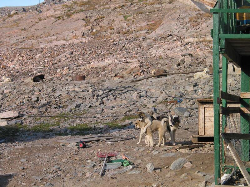 huskies playing in the village