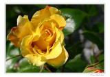 Rose in Betlis