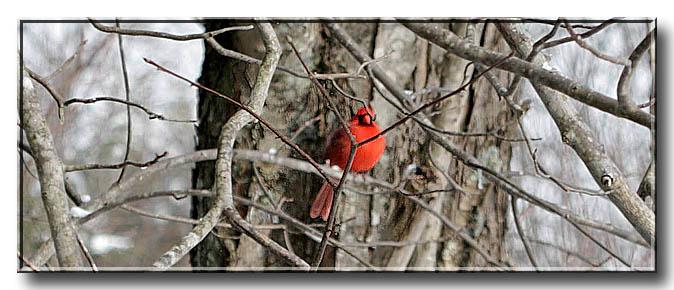 cardinal - Cardinalis cardinalis