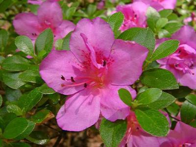 Macranthum Purple