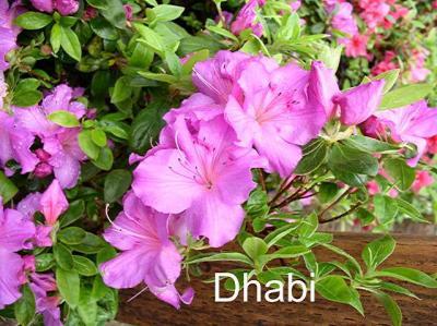 Dhabi