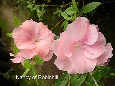 Nancy of Robinhill