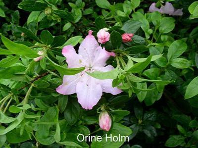 Orine Holm