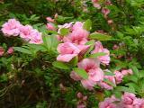 'Rosebud'