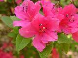 'Texas Pink'