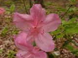 'Pinkey Bee'