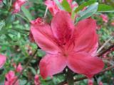 'Pink Star'