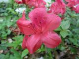 'Rose Ash'