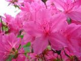 'Roselight'