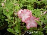 'Roehr's Peggy Ann'