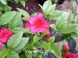 'Vuyk's Scarlet'