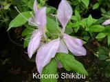 'Koromo-shikibu'
