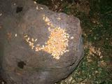 corn on a rock