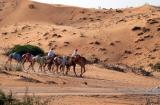 Camels with riders near B_, an inland village, part of the Emirate of Umm Al Quwain
