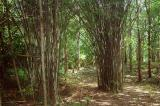 Bamboo along the trail to the waterfalls, Erawan National Park