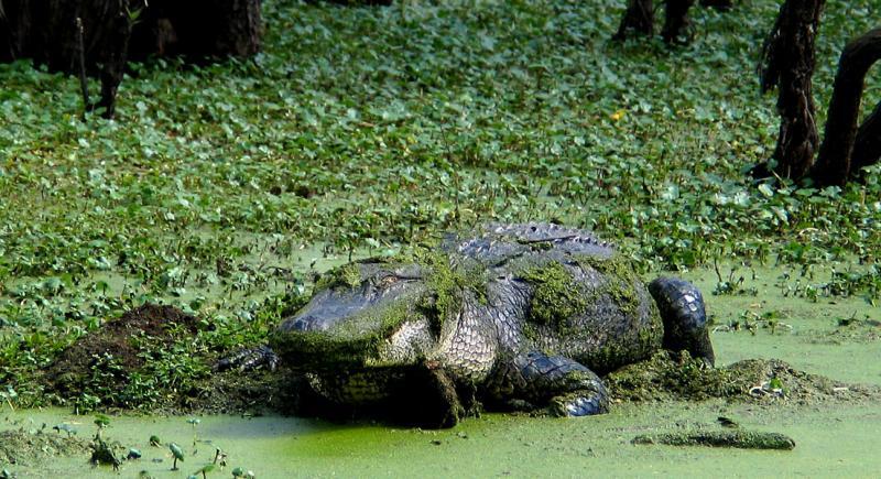 Alligator on the Bayou_5238