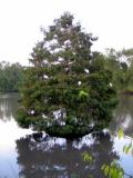 Cypress and Ibis
